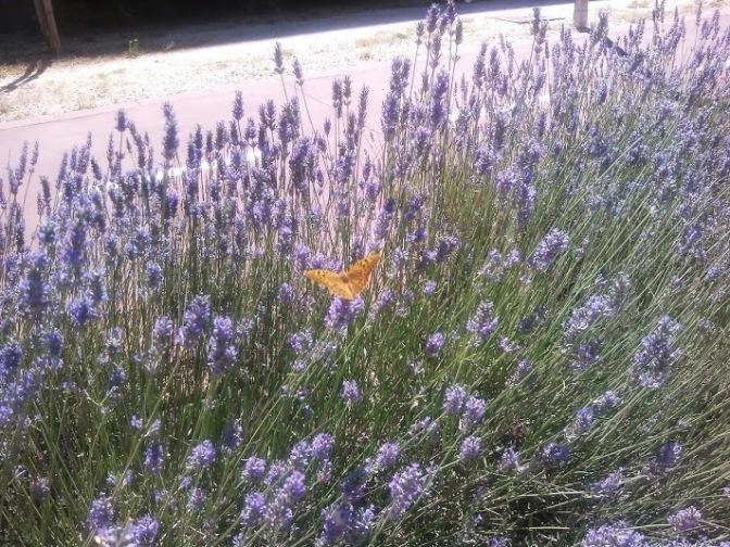 Las mariposas de mi campus